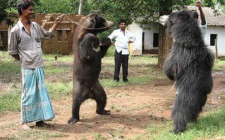 Dancing bear pic