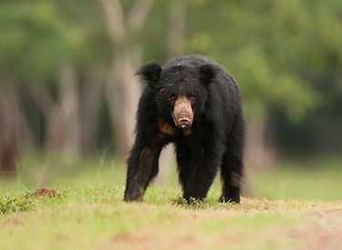 Sloth Bear. Photo courtesy of Wildlife Trust of India