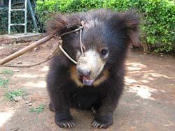 Cub forced into life as a dancing bear. Photo courtesy of International Animal Rescue.