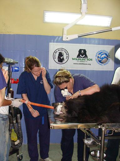 The operations to restore the blind bears' sight