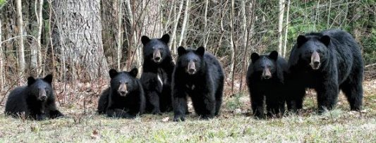 Some of Whistler's Black Bears, photo courtesy of Get Bear Smart