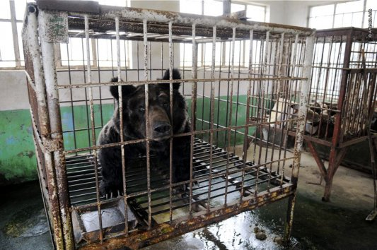 Oliver, incarcerated for 30 years (photo courtesy of Animals Asia)