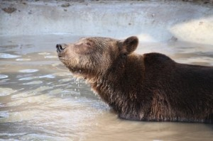 Wildwood Trust - rescued bear