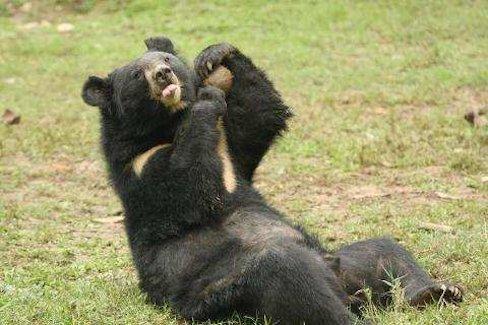Mine, all mine – one of the bears enjoying their coconut.