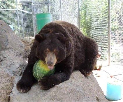 Bear on rock eating watermelon