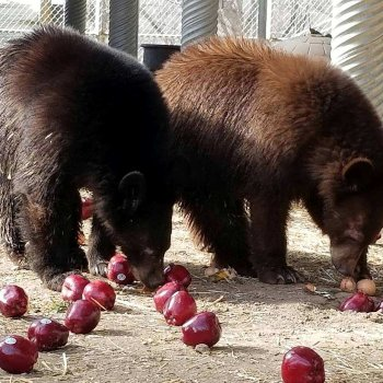 Bears eating apples