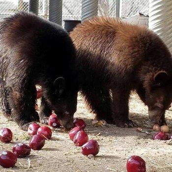 Bears eating apples