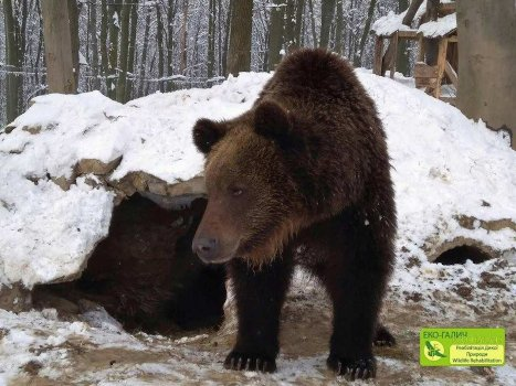 Myr, one of the bears at Eco-Halych. Photo courtesy of Eco-Halych.