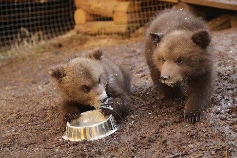 Orphaned bear cubs