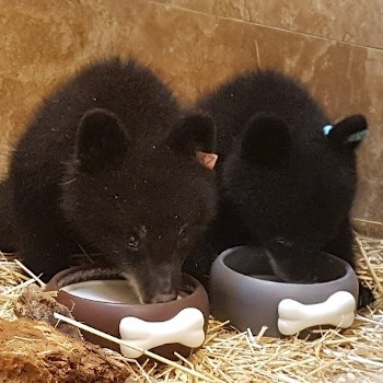Two bear cubs eating